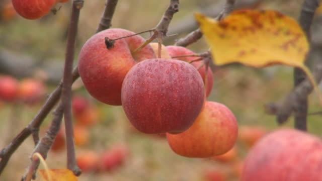 stockvideo's en b-roll-footage met apples on the tree - middelgrote groep dingen
