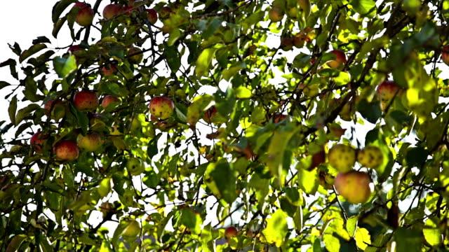 vídeos de stock e filmes b-roll de hd: bio maçãs na árvore - natureza morta