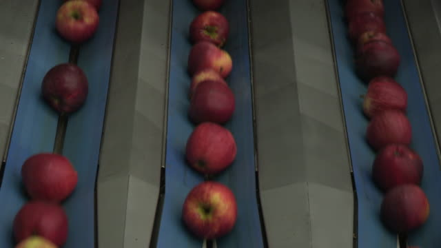 Apples on three conveyor belt rows move downwards at a processing plant in Kent, UK.