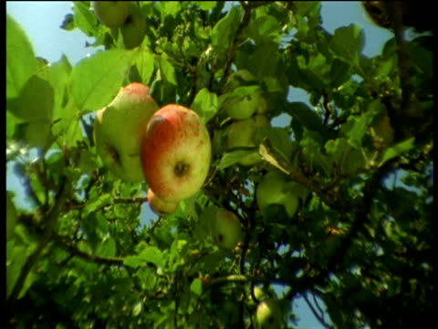 apples on tree, devon - orchard stock videos and b-roll footage