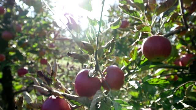 apples on tree - poland stock videos & royalty-free footage