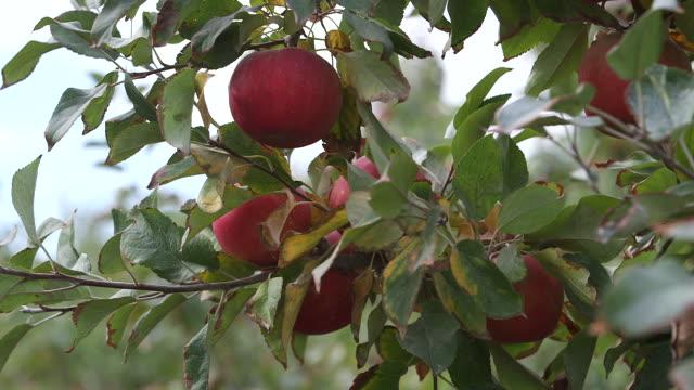 apples on tree w sky rack focus - wiese video stock e b–roll