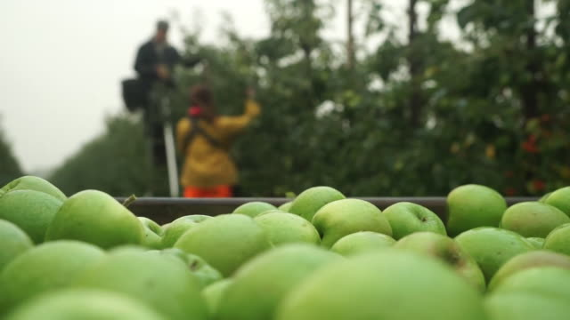 stockvideo's en b-roll-footage met apples picked by seasonal workers - boomgaard