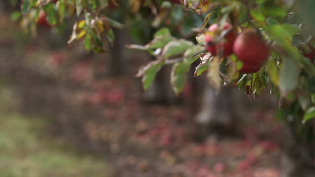vídeos de stock, filmes e b-roll de 2 apples tilt up apple - orchard