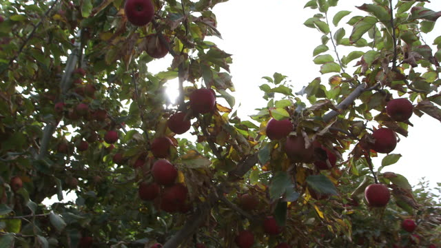 2 apples tilt up apple - wiese stock videos & royalty-free footage