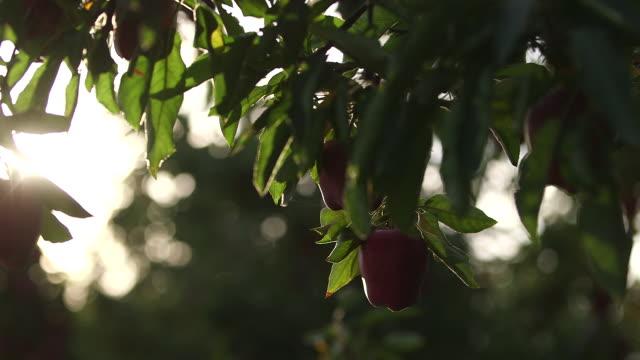 2 apples tilt up apple - wiese video stock e b–roll