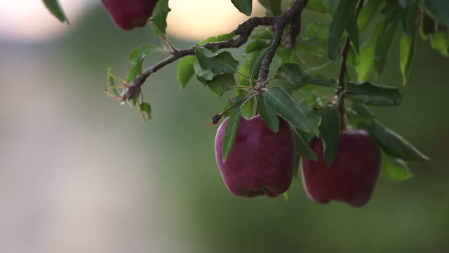 2 apples tilt up to little apple shallow dof - wiese stock videos & royalty-free footage
