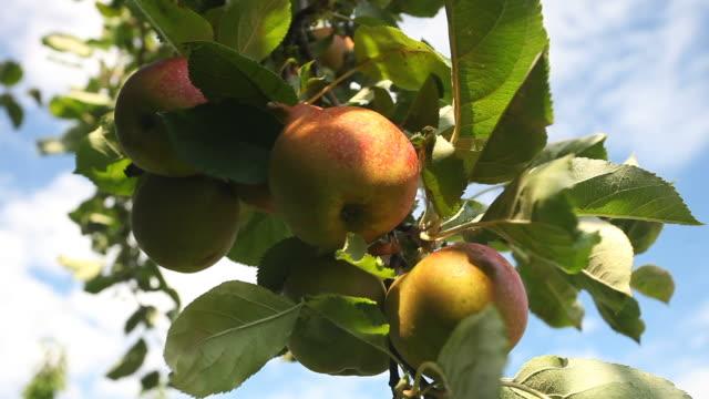 vidéos et rushes de apples - speisen