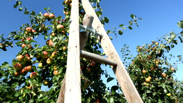 apples with ledder, camera pan - apple orchard stock videos & royalty-free footage