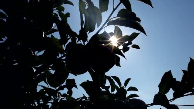 vídeos de stock, filmes e b-roll de maçãs com a luz do sol - árvore de folha caduca