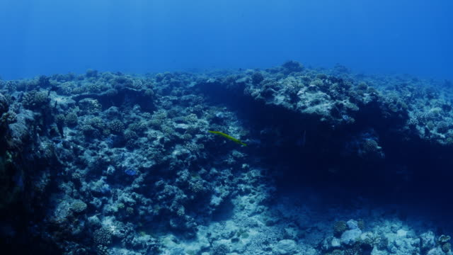 approaching a trumpet fish swimming in a reef in tahiti / moorea, french polynesia - moorea stock videos and b-roll footage