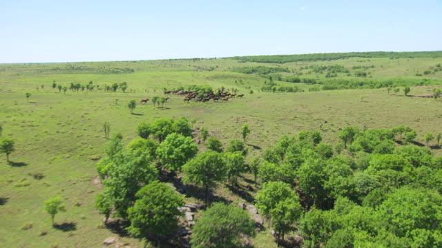 vídeos y material grabado en eventos de stock de ws aerial approaching mustangs running in osage county / oklahoma, united states - galopar