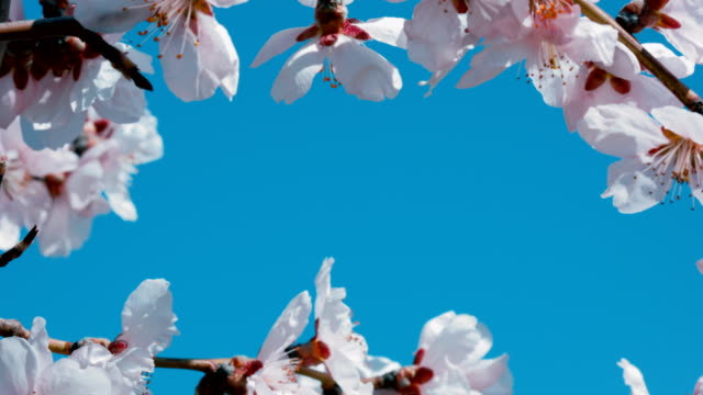 Apricot blossoming branches on blue background. Copyspace.