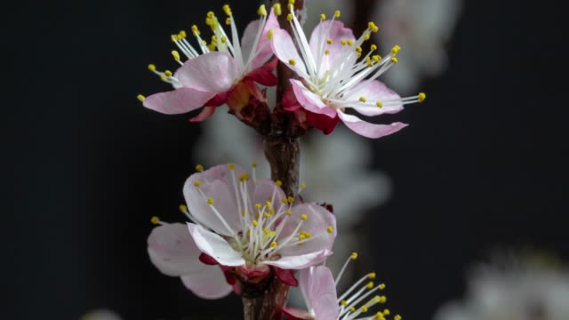 Apricot Flower blooming against black background in a time lapse movie. Prunus armeniaca growing in time-lapse. - Stock video