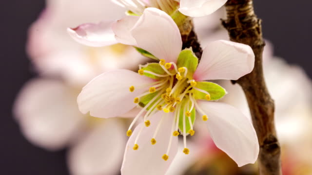 Apricot flower blooming against black background in a time lapse movie. Prunus armeniaca growing in moving time lapse.