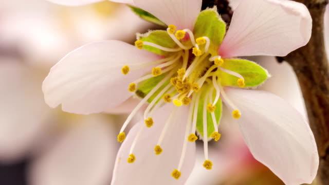 apricot flower blooming against black background in a time lapse movie. prunus armeniaca growing in moving time lapse. - apricot stock videos & royalty-free footage