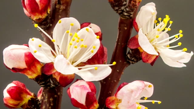 Apricot flower blooming against black background - time lapse video