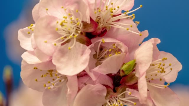 apricot flower blooming against blue background in a time lapse movie. prunus armeniaca growing in vertical moving time-lapse. - stock video - floral pattern stock videos & royalty-free footage