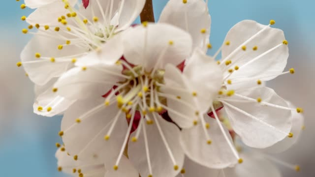 Apricot Flower blooming against blue background in a time lapse movie. Prunus armeniaca growing in vertical moving time-lapse. - Stock video