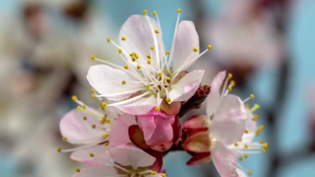 Apricot Flower blooming against blue background in a time lapse movie. Prunus armeniaca growing in time-lapse. - Stock video
