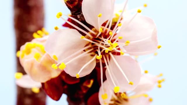 Apricot flower blooming against blue background in a time lapse movie. Prunus armeniaca growing in moving time lapse.