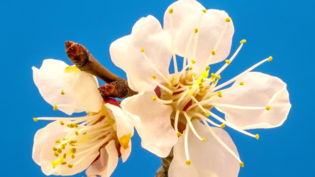 vídeos y material grabado en eventos de stock de albaricoque flor floreciente contra un fondo azul en una película de lapso de tiempo. prunus armeniaca en lapso de tiempo móvil. - pistilo