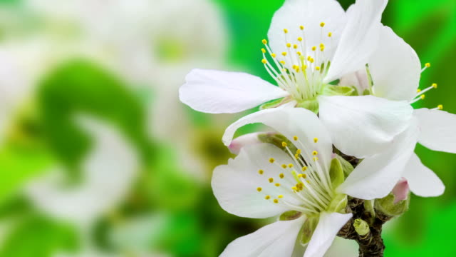 Apricot flower blooming against green background in a time lapse movie. Prunus armeniaca growing in moving time lapse.