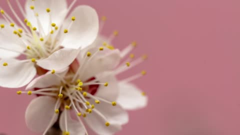 apricot flower blooming against pink background in a time lapse movie. prunus armeniaca growing in vertical moving time-lapse. - stock video - flower head stock videos & royalty-free footage