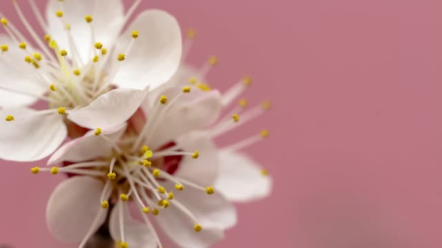stockvideo's en b-roll-footage met abrikoos bloem bloeien tegen roze achtergrond in een time lapse film. prunus armeniaca groeit in verticale bewegende time-lapse. -stock video - bloeien tijdopname