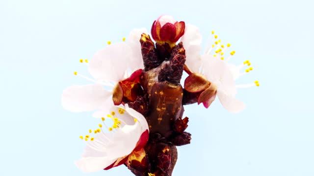 vídeos y material grabado en eventos de stock de flor de albaricoque en un lapso de tiempo de flor abriéndose video hd 1080 - pistilo