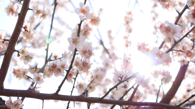 apricot flower festival in yangsan - apricot stock videos & royalty-free footage