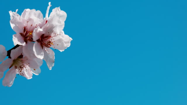 Apricot flower on blue background. Copyspace