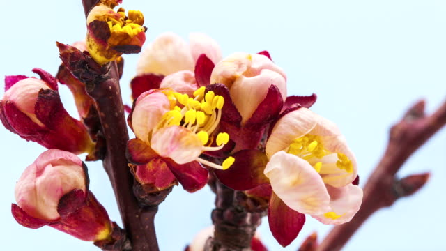 apricot flower - apricot stock videos & royalty-free footage