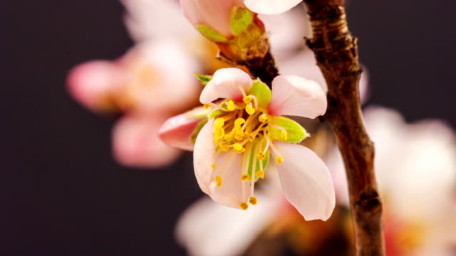 apricot blumen - evolution stock-videos und b-roll-filmmaterial