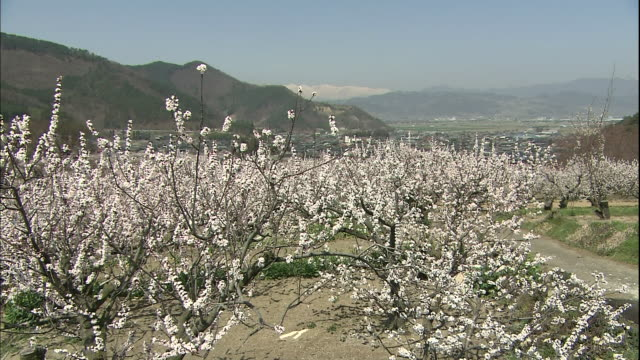 Apricot flowers in full bloom fill a field in Nagano.