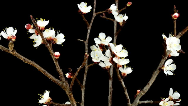 apricot flowers; time lapse - bouquet stock videos & royalty-free footage