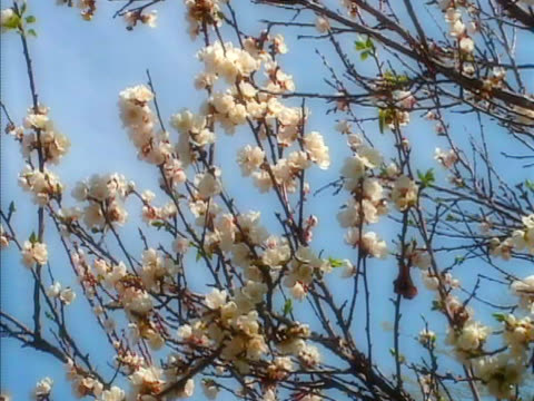 apricot tree with blossoms and breeze - apricot stock videos & royalty-free footage