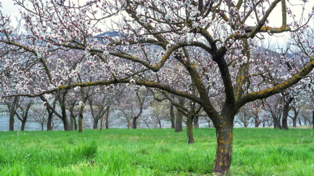 Apricot Trees With Pink Blossom; Time Lapse