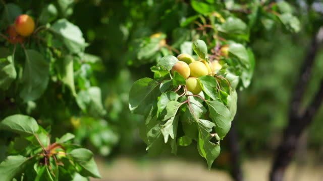 apricots - apricot stock videos & royalty-free footage