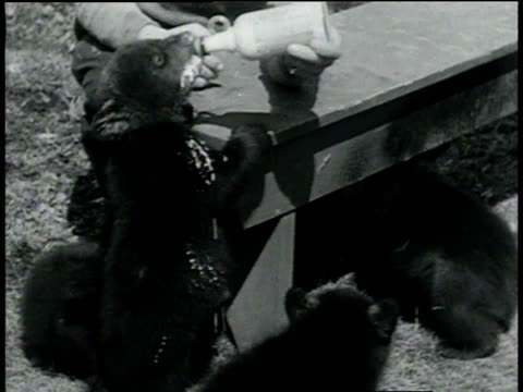 april 6, 1933 montage bear cubs drinking milk from bottle and climbing in tree / tinley park, illinois, united states - bear cub stock videos and b-roll footage