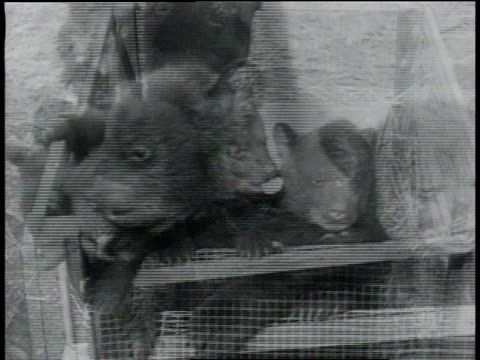 april 6, 1933 montage bear cubs sitting in and tumbling out of wire mesh box / tinley park, illinois, united states - 1933 stock videos & royalty-free footage