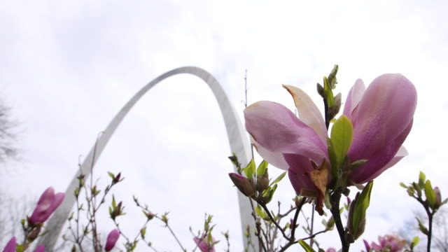 magnolias bloom near the nearly deserted st louis arch which has been closed to visitors during the 2020 covid19/coronavirus national emergency... - jefferson national expansion memorial park stock videos & royalty-free footage