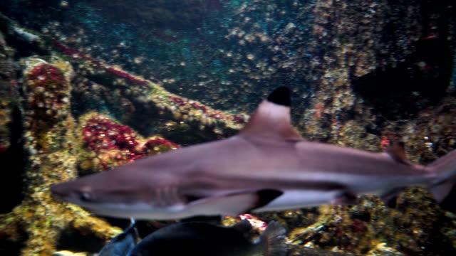 vídeos de stock e filmes b-roll de aquarium, fish tank,shark is swimming - gigante personagem fictícia