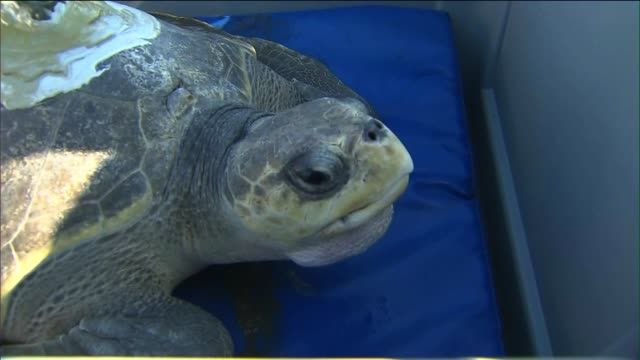 Aquarium of the Pacific Releases Rehabilitated Sea Turtle Back Into Ocean on September 06 2013 in Los Angeles California