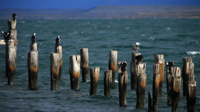 ms aquatic birds standing on top of old pier / torres del paine, chilean patagonia, chile - utfällda vingar bildbanksvideor och videomaterial från bakom kulisserna