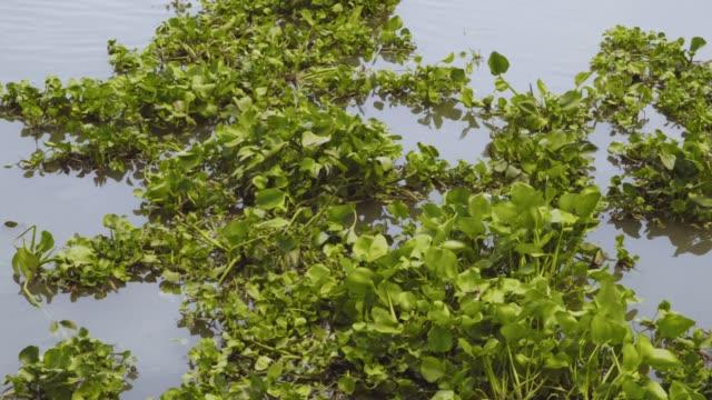 aquatic macrophytes calmly floating on the river in ayuttaya, phra nakhon si ayutthaya - aquatic plant stock videos and b-roll footage