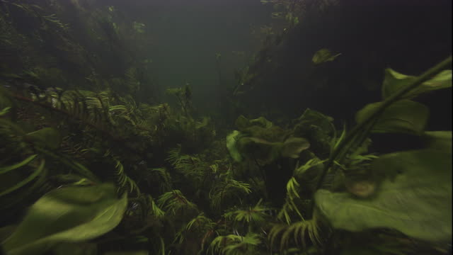aquatic plants thrive on a lake bed. available in hd. - blattfiedern stock-videos und b-roll-filmmaterial