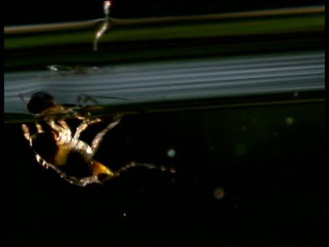 aquatic wasp struggles to break through water surface uk - cartilagine video stock e b–roll