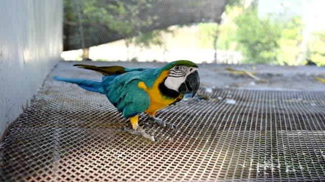vídeos de stock, filmes e b-roll de ara ararauna azul e amarelo arara brincalhão no aviário - jardim zoológico
