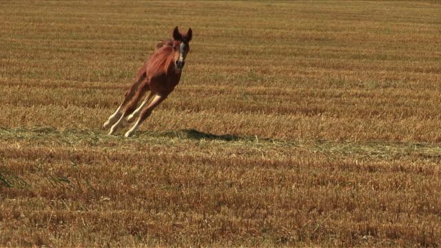 arabian colt running in a field - 子馬点の映像素材/bロール